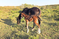 Horse with foal in Portugal Royalty Free Stock Photo