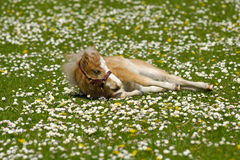 Horse foal is resting on flower field Royalty Free Stock Image