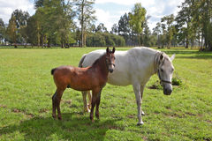 The horse with the foal Royalty Free Stock Photos