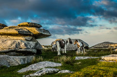 Horse and foal at  Rough Tor Royalty Free Stock Photos