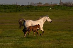 Horse with a foal running through the meadow. Sunny summer evening royalty free stock photography