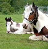 Horse and Foal in sitting in a meadow Stock Photos