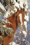 Horse Foal by snow covered Tree Stock Image
