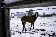 Horse foal in the snow royalty free stock photography