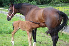 Horse and foal. A horse standing in a field feeding its foal Royalty Free Stock Photography