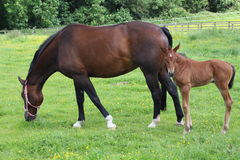 Horse and foal. A horse standing in a field with its foal Stock Photography