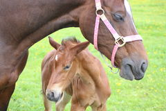 Horse and foal. A horse standing in a field with its foal Royalty Free Stock Photo