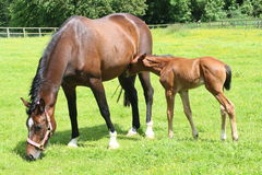 Horse and foal. A horse standing in a field with its foal Royalty Free Stock Image