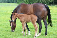 Horse and foal. A horse standing in a field with its foal Royalty Free Stock Photography