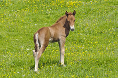 Horse foal standing at a meadow Royalty Free Stock Photo
