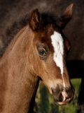 Horse. A foal stands beside its mother Stock Photos