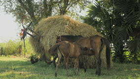 Horse foal suckles , cart loaded with hay, horse ,. Horse foal suckling mare on a green field with a cart loaded with hay in background stock video