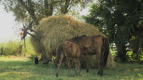 Horse foal suckles , cart loaded with hay, horse , stock video