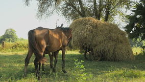 Horse foal suckles , cart loaded with hay, horse , stock footage