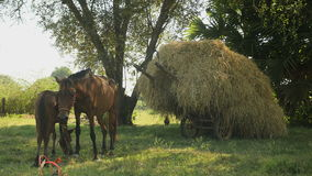 Horse foal suckles , cart loaded with hay, horse , stock video footage