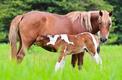 Horse foal suckling from mare Stock Photography