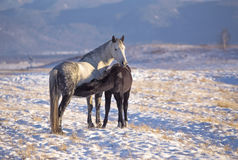 Horse foal suckling from mare in in a snowy meadow Stock Photo
