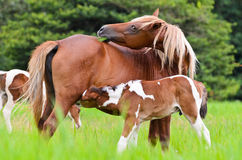 Horse foal suckling from mother Royalty Free Stock Photos