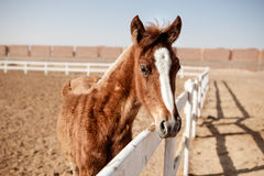 Horse Foal in Summer Royalty Free Stock Images