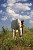 Horse and foal together eating grass Stock Image