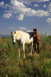 Horse and foal together eating grass Royalty Free Stock Images