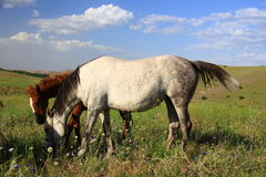 Horse and foal together eating grass Royalty Free Stock Photo