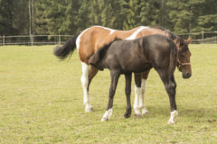 Horse and foal. Two horses in corral. Foal and its mother Stock Image
