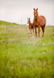 Horse and foal. Vertical image of a quarter horse mare and her foal in a pasture Royalty Free Stock Photos