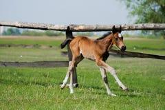 Free Horse Foal Walking In A Meadow Stock Photos - 92865453