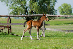 Horse foal walking in a meadow Royalty Free Stock Photos