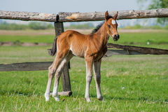 Horse foal walking in a meadow Royalty Free Stock Images