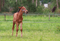 Horse foal walking. Horse foal is walking in a pasture Stock Images