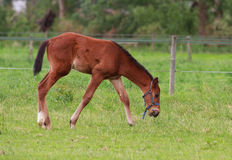 Horse foal walking. Horse foal is walking in a pasture Stock Photos