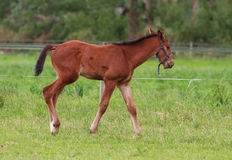 Horse foal walking. Horse foal is walking in a pasture Royalty Free Stock Photo