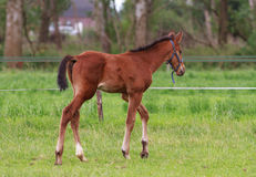 Horse foal walking. Horse foal is walking in a pasture Royalty Free Stock Photography