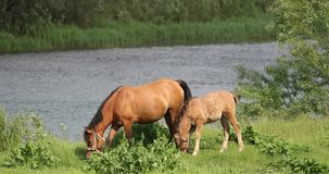Horse And Foal Young Horse Grazing On Green Meadow Near River In Spring Or Summer. Adult Brown Horse And Foal Young Horse Grazing On Green Meadow Near River In stock footage