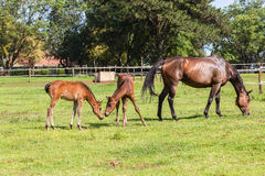 Horse Foals Colt Stud Farm. Horse mare and foals colt on stud farm field royalty free stock photo