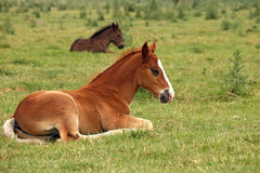 Horse foals Royalty Free Stock Images