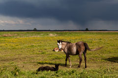 Horse and foals on pasture Royalty Free Stock Photography