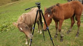 Horse foals playing with a tripod. stock video footage