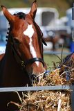 Horse fodder. Horse eating hay at show event Stock Photography