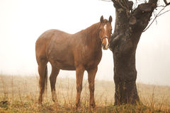 Horse in the fog Royalty Free Stock Image