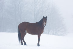 Horse in fog Stock Photography