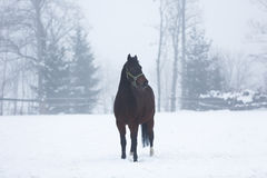 Horse in fog Royalty Free Stock Image