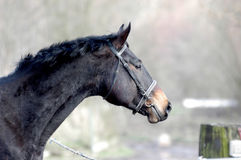 Horse at foggy morning. Side-view of a warmblooded gelding, fog in the background Stock Images