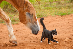 Horse following his cat friend. Belgian Draft horse following his tiny little black and white kitty cat friend Royalty Free Stock Images