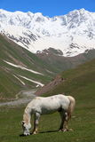 Horse at the foot of Mt Shkhara. Svaneti. Georgia Royalty Free Stock Image