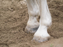 Horse foot. White horse's feet in the brown sand Stock Photo