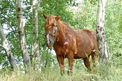 Horse in the forest Stock Image