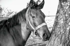 A horse in the forest black and white Stock Image